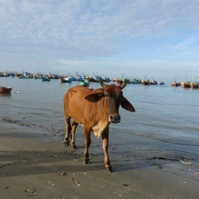 Die Kuh ...