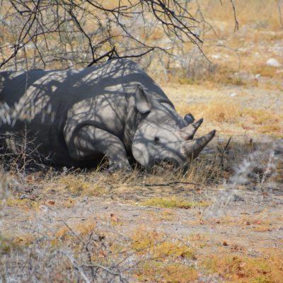 Mit dem Nashorn geht es los