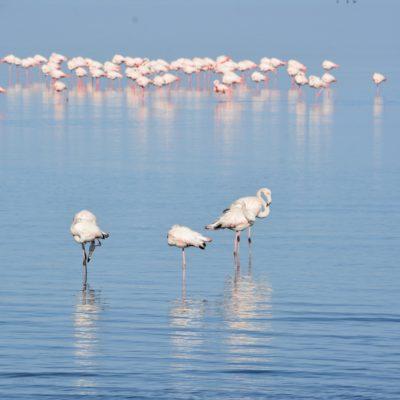 Grauer Flamingo