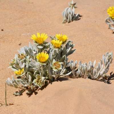 Wüstenblume 1