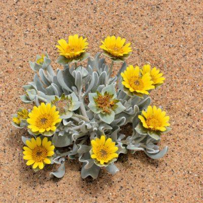 Wüstenblume 2